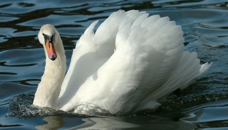 Swan 75.jpg