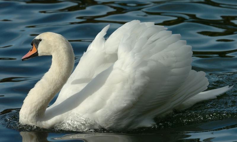 Swan 77.jpg