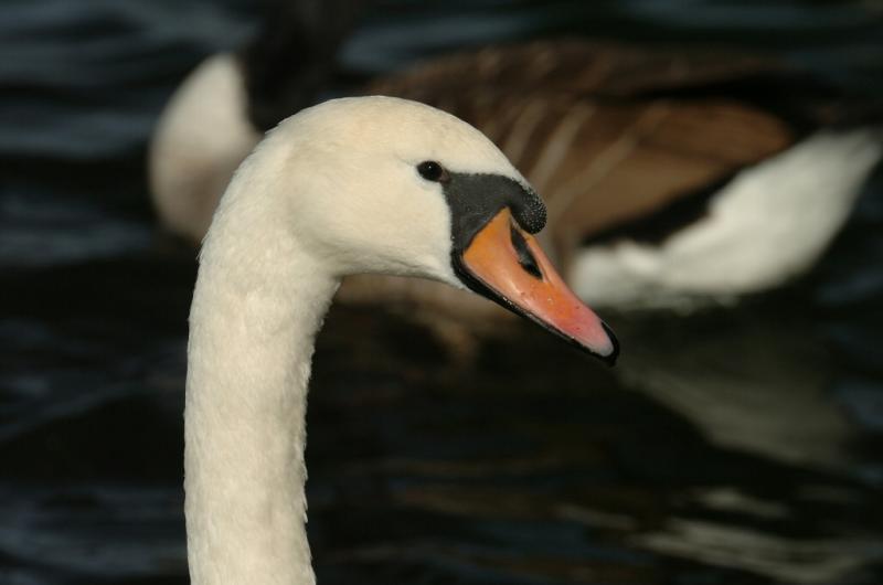 Swan 86.jpg