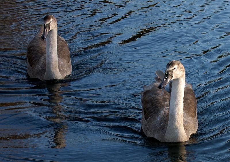 Swan 32.jpg
