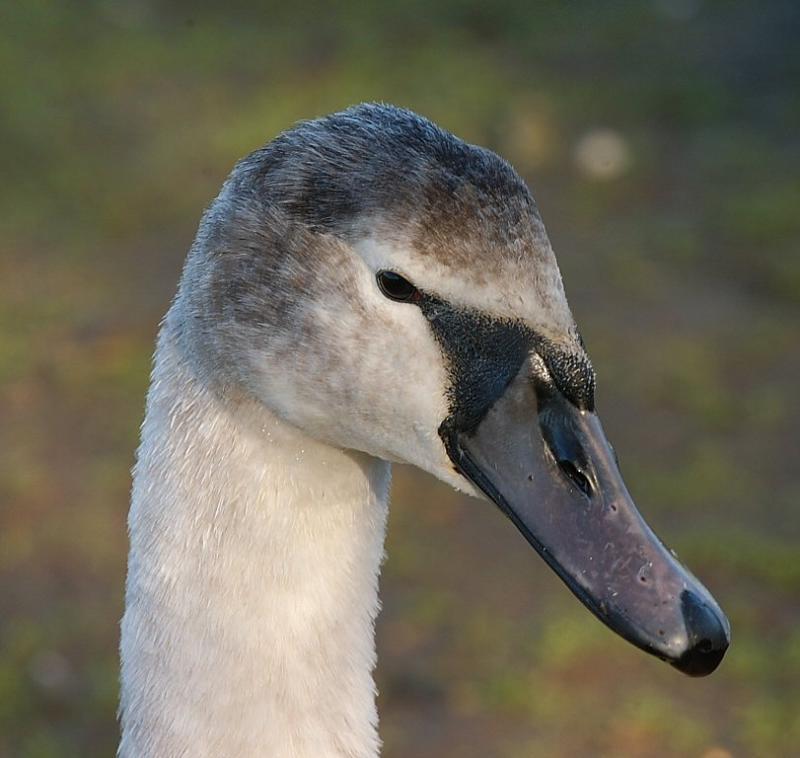 Swan 34.jpg