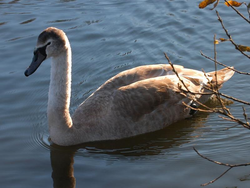 Swan 36.jpg