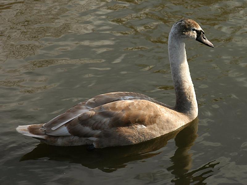 Swan 39.jpg