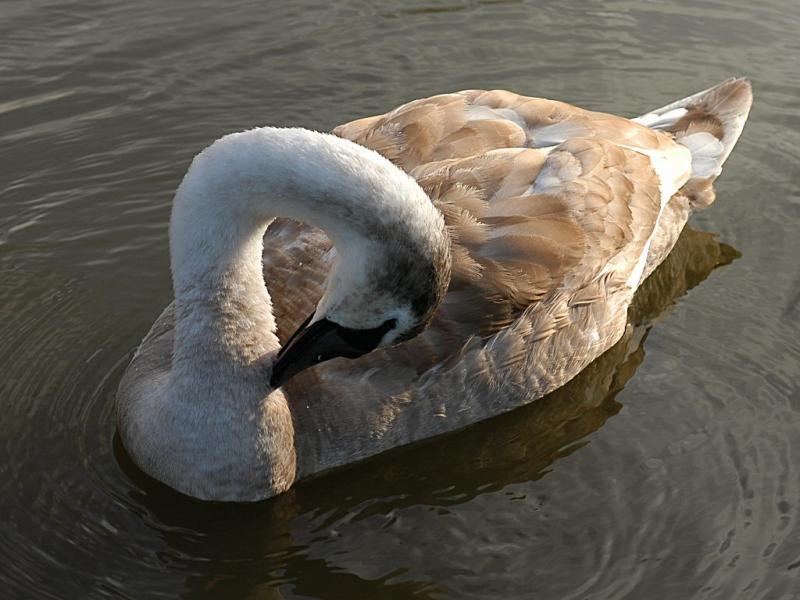 Swan 40.jpg