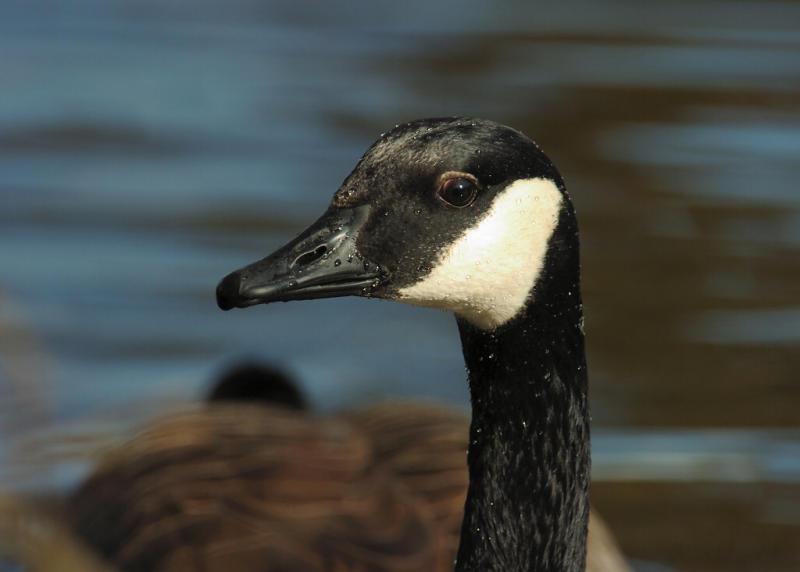 Geese 33.jpg
