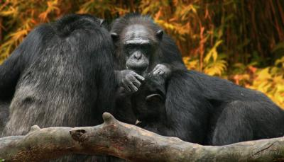 Scratching Each Others Back, Chimpanzees (Apr 06)