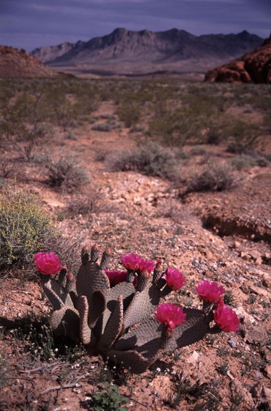 Cactus in flower Death Valley