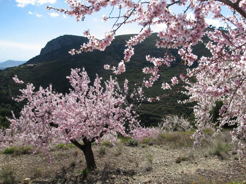 Backlit almond blossom
