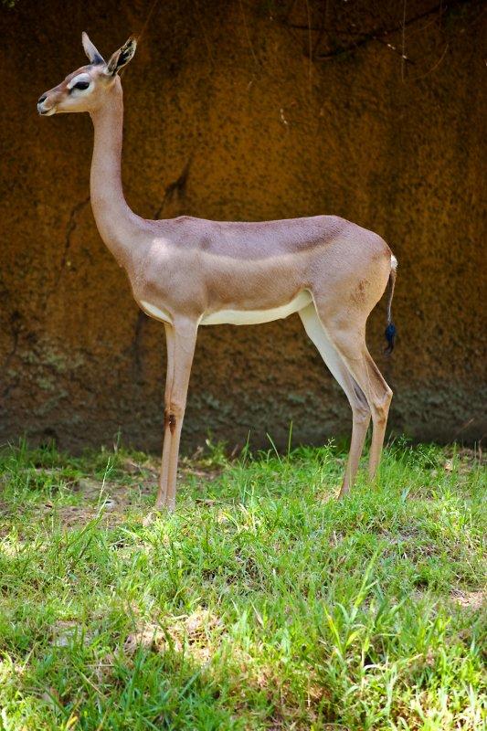 female gerenuk