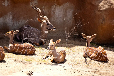 greater kudu family