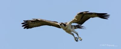 Osprey 3 pb.jpg