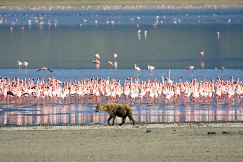 Hyena prowling at Lake Magadi