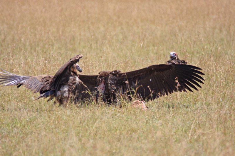 Skirmish over carcass
