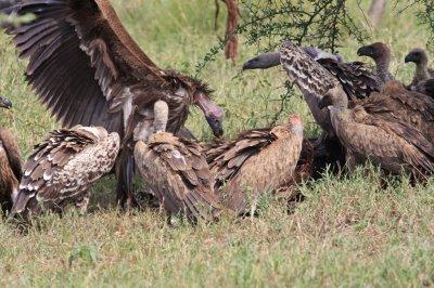 Vultures on Wildebeest