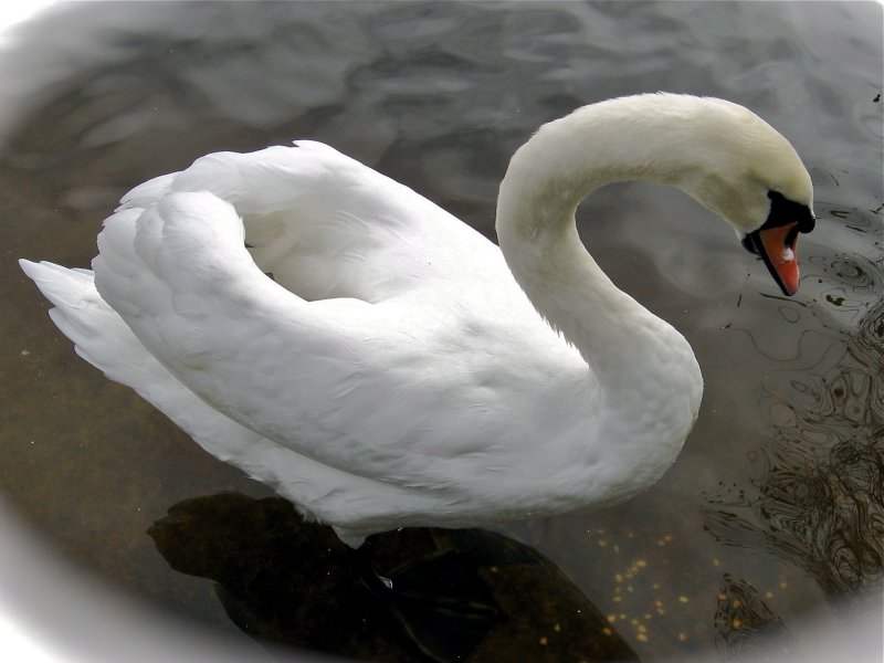 Pretty swan - Het Zwin