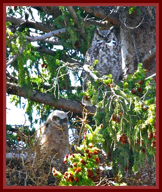 Mama  & bebe Great Horned Owl