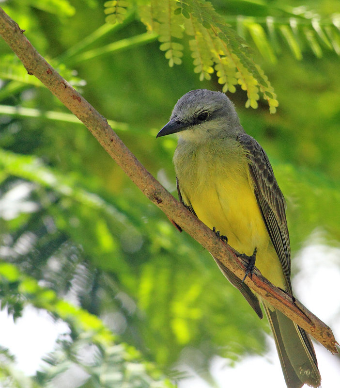Tropical Kingbird  In Parqueo Benito Juarez