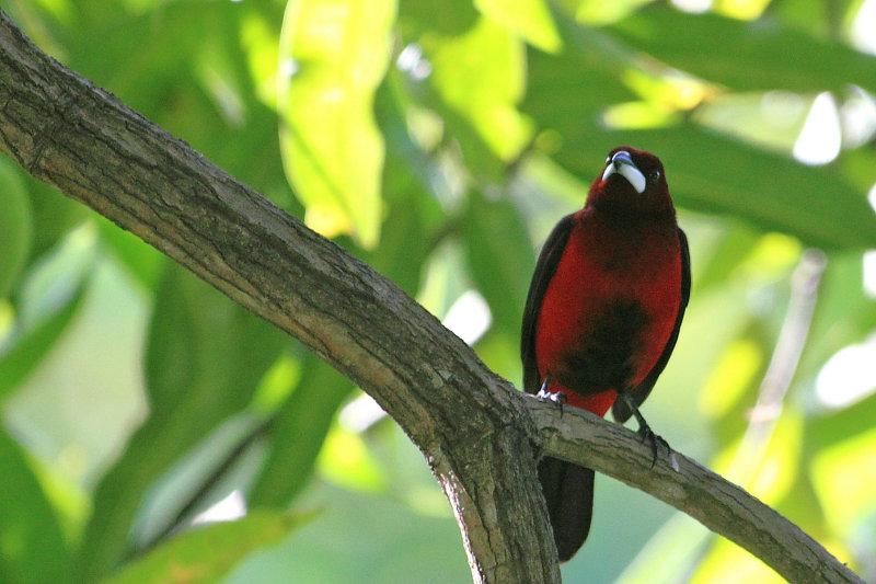 Crimson-backed Tanager (Ramphocelus dimidiatus)