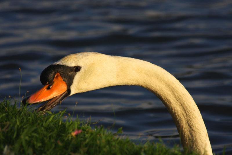 Swan Eating Primroses