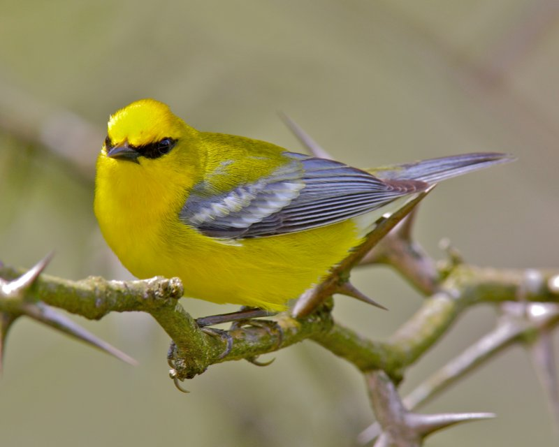 Blue-winged Warbler, Adair WMA, KY