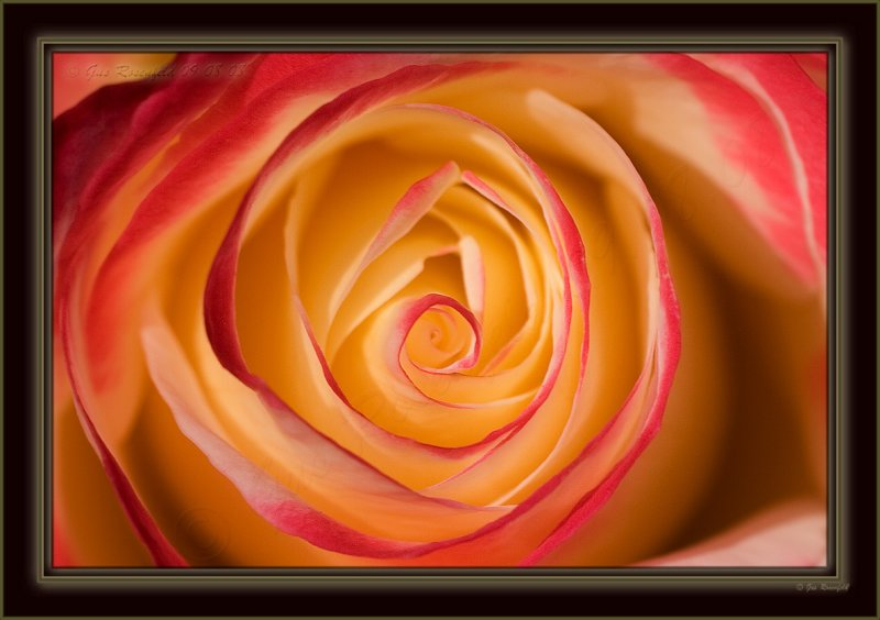 Behold Thee, Of Her Beauty ~<br> The Eye Is In Thee, Rose