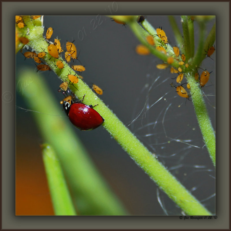 Ladybug Ladybug Fly Away Home Stop Eating Our Children & Go Eat Your Own
