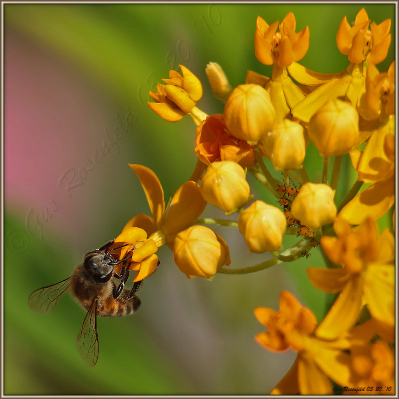 The Ever So Populated Milkweed - Cat-Nip For The Entomologist Inallofus