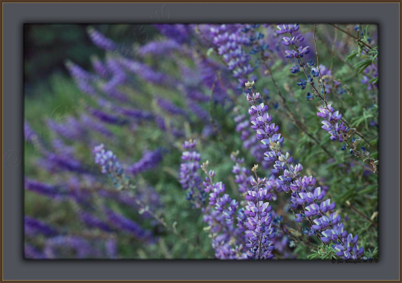 Indigo, Violet, Purple And Blue - Until Evening Brings Night - <br>To Ferry Lupine From View