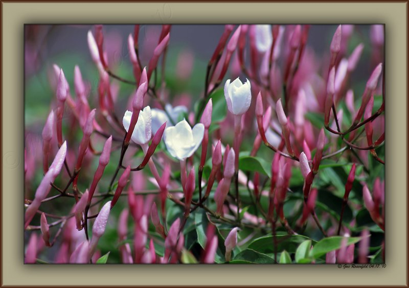 Jasmine - Santa Monicas Invite To Spring
