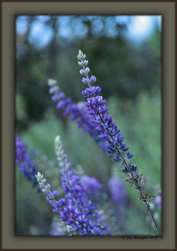 Stalked By Lupine In The Santa Monicas