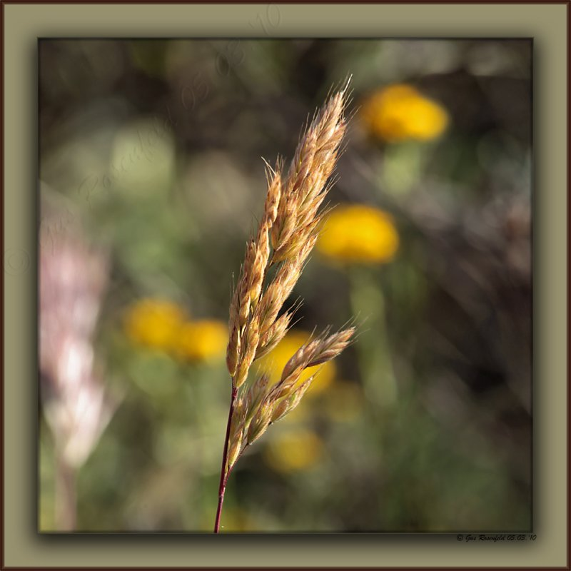 Giant Rye Strikes A Pose with Red Brome and Mustard On The Runway