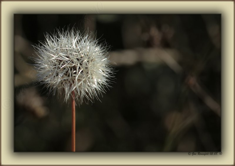 Silver Puff In Santa Monica Mountains Stealing Light Before The Shade