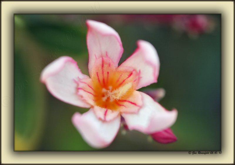 Oleander - Barbara Bush Variety