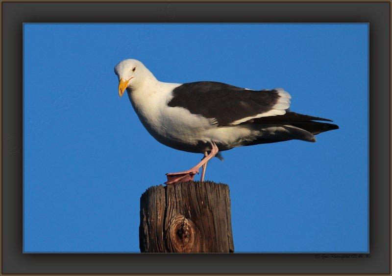 My Morning Guard Gull