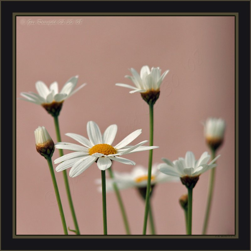 About Six & Half Daisies