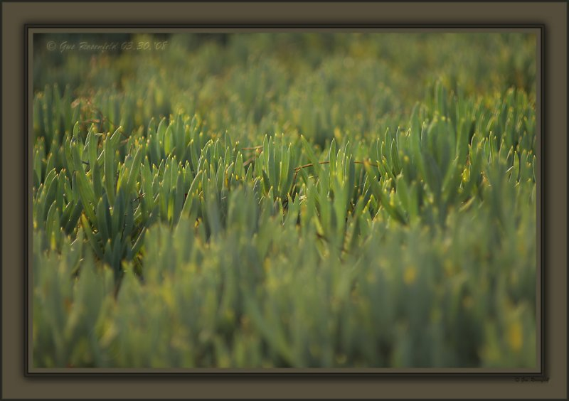 Ice & Sun Melts To Beauty<br>Ice Plant - Spring 08