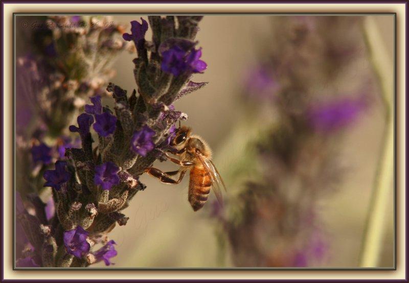 A Lavender Breeze In The Cali Sun