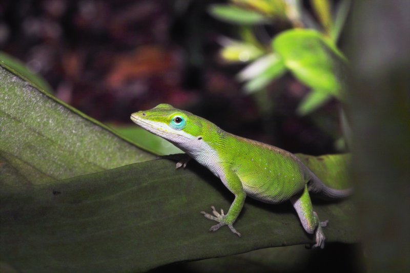 Green Anole from Front Porch series
