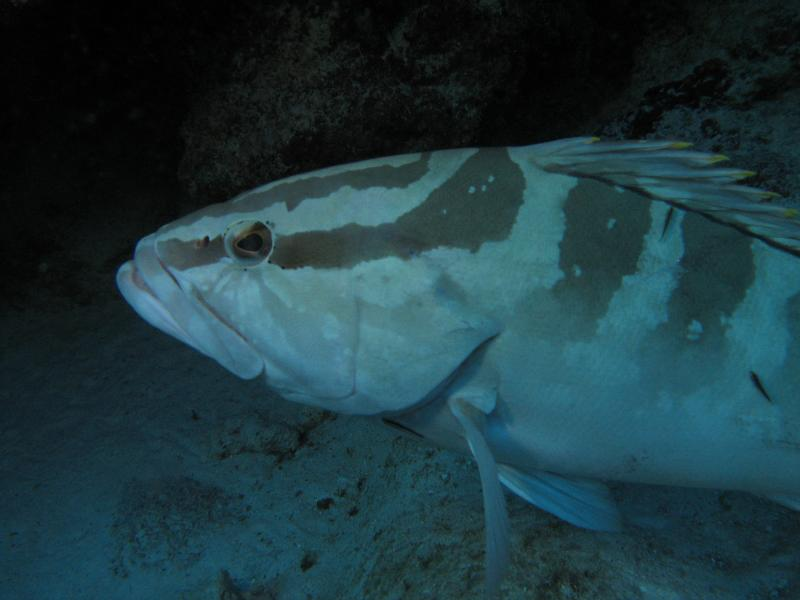 invading the personal space of Mr. Nassau Grouper