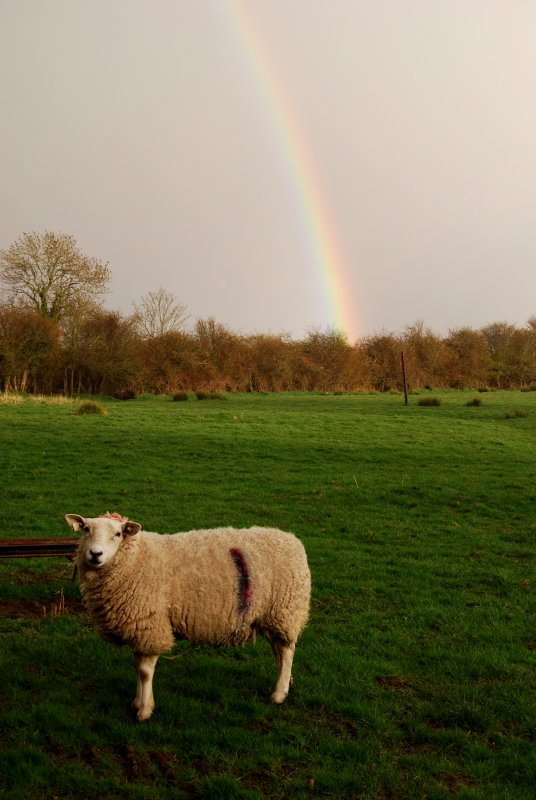 Sheep at the end of the rainbow