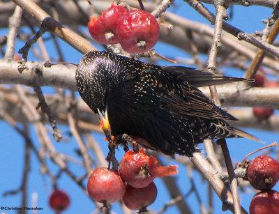 European starling diet