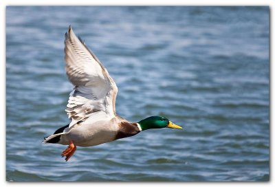Mallard In Flight I