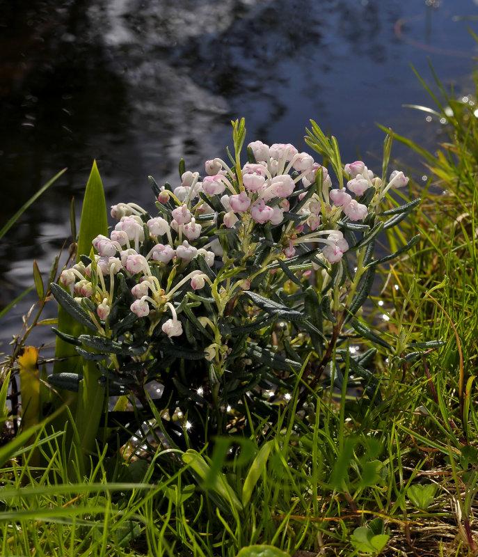 Andromeda polifolia, ericaceae