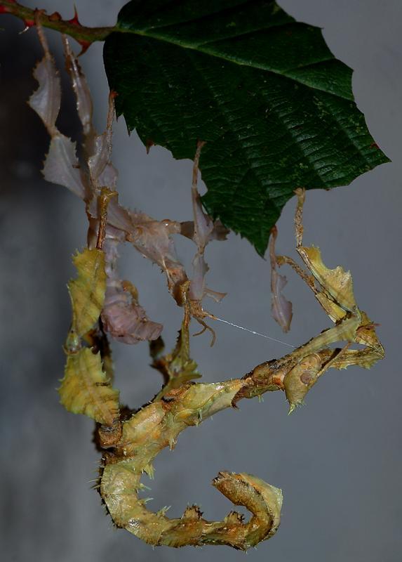 Zojuist vervelde wandelende tak-Walking stick (Extatosoma tiaratum)