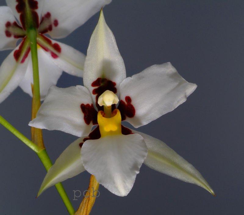 Rhynchostele madrense, flower 4 cm, former Odontoglossum