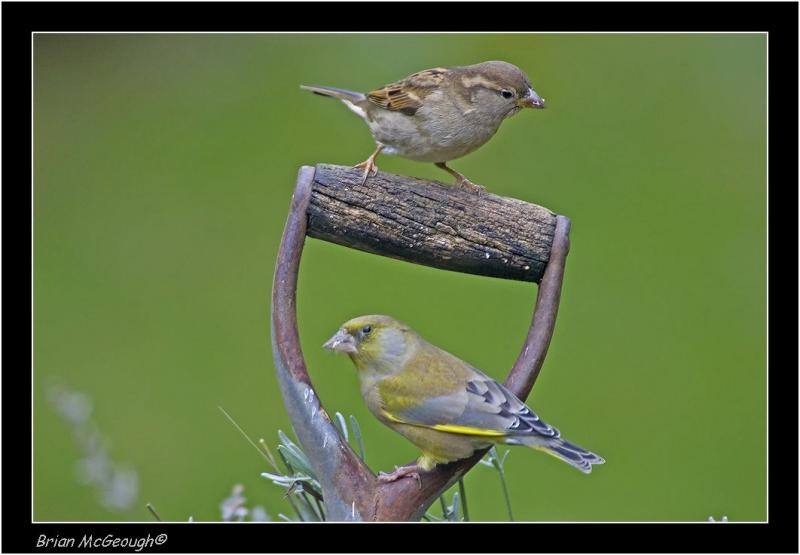 greenfinch and house sparrow.jpg