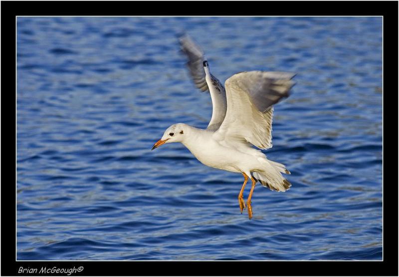 B H Gull 2.jpg
