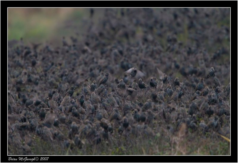 Any guess as to numbers of starlings here ???