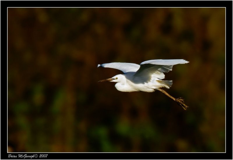Little Egret 1.jpg