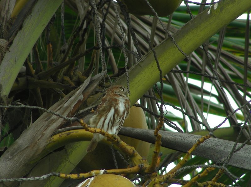 3_6_Pacific Pygmy Owl.JPG